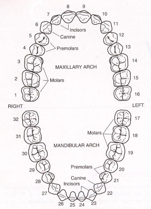 dental tooth numbering system chart